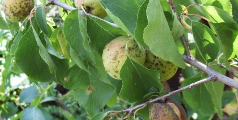 Клястероспориоз или дырчатая пятнистость абрикоса
