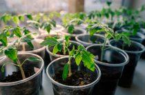 Как вырастить хорошую рассаду томатов в домашних условиях?