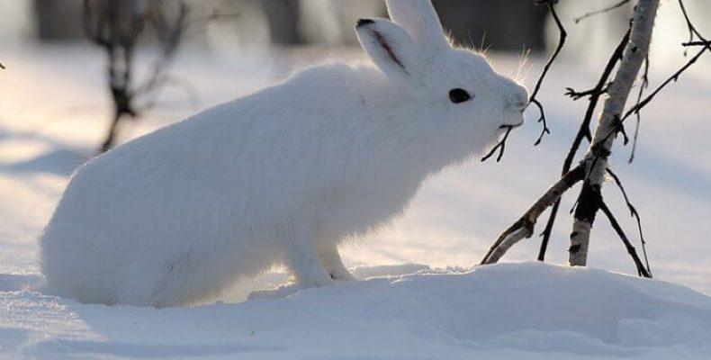 Что делать, если кору яблони погрызли зайцы?