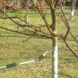 Когда обрабатывать плодовые деревья от вредителей весной