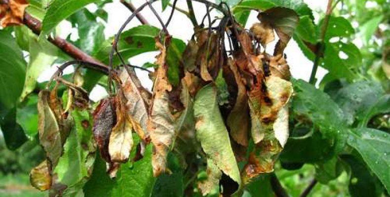 Бактериальный ожог плодовых деревьев меры борьбы современными методами