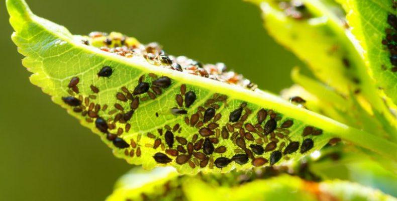 Препараты от тли на плодовых деревьях – эффективные и быстродействующие
