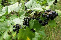 Как посадить куст смородины? Выращивание смородины в саду