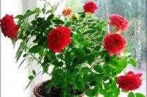 Выращивание розы на подоконнике