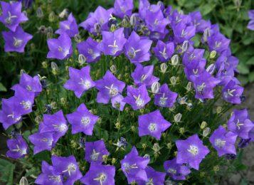 Изящный и яркий многолетний садовый колокольчик