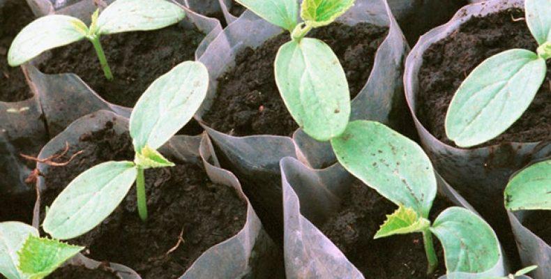 Срок посева семян на рассаду. Эффективный метод расчета