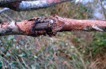 Рак коры плодовых деревьев