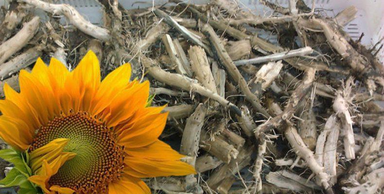 Почему не следует удалять корни подсолнечника?